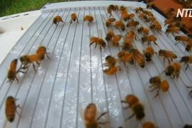 Австралиец придумал, как собирать пчелиный яд без вреда для пчёл