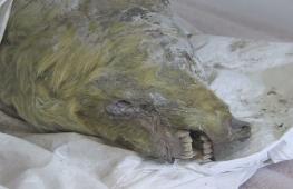 В Сибири нашли голову волка, жившего в ледниковый период