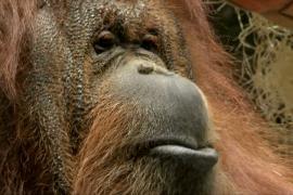 В Париже орангутан Ненетт празднует 50-летие и рисует картинки