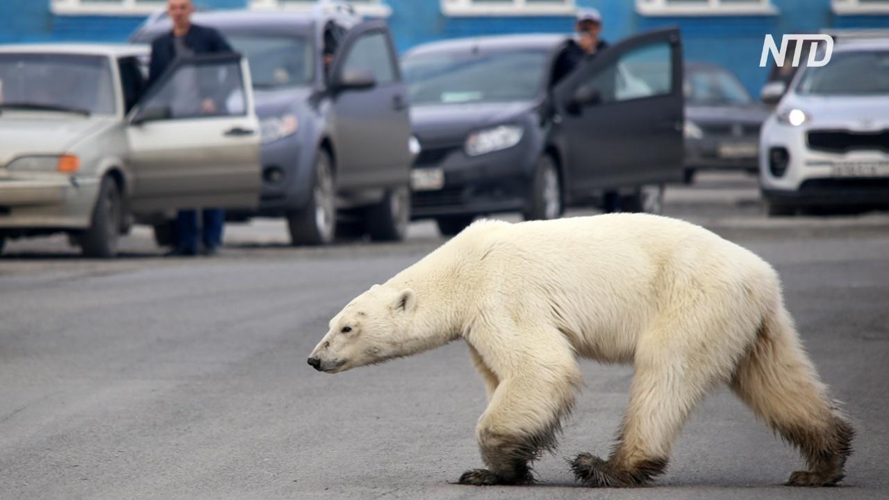 Голодный полярный медведь забрёл в Норильск