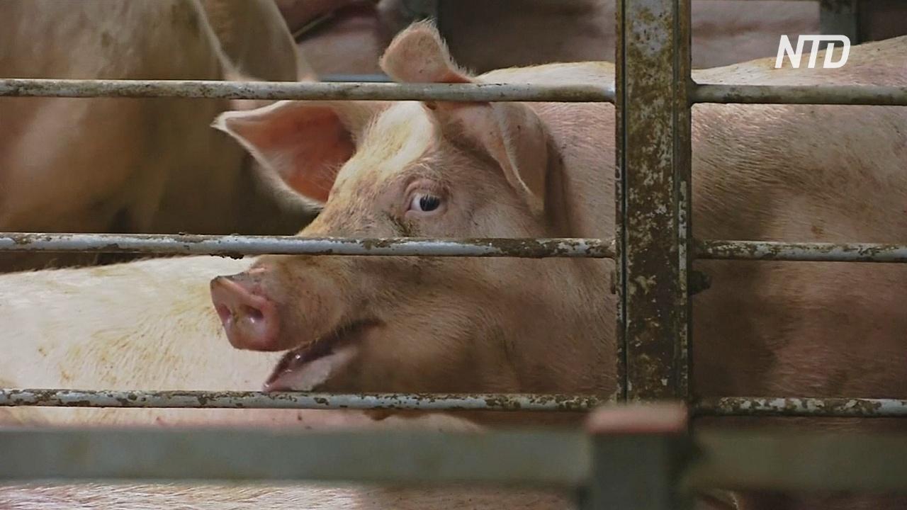 Эксперты считают, что в Китае вспышка африканской чумы поразила до 30% свиней