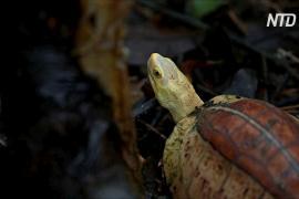 Во Вьетнаме пытаются спасти несколько исчезающих видов черепах
