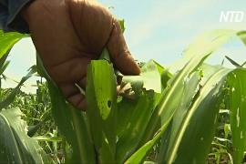 Тайские фермеры пострадали от нашествия «армейских червей»