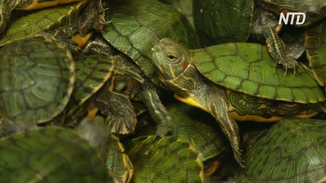 В Малайзии задержали контрабандистов с 5000 красноухих черепах