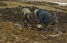 В России нашли кости мамонта, которые обрабатывал древний человек