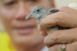 В Сингапуре посоревновались в пении нежноголосые полосатые горлицы