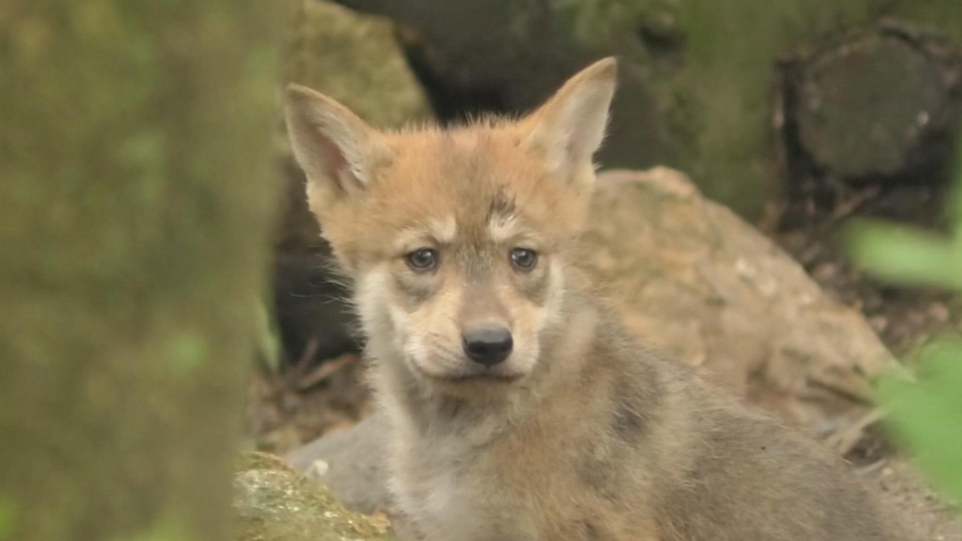 Редкие мексиканские волчата стали звёздами зоопарка в Мехико