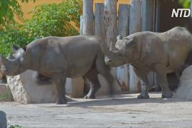 Пять носорогов из Европы помогут спасти популяцию в Руанде