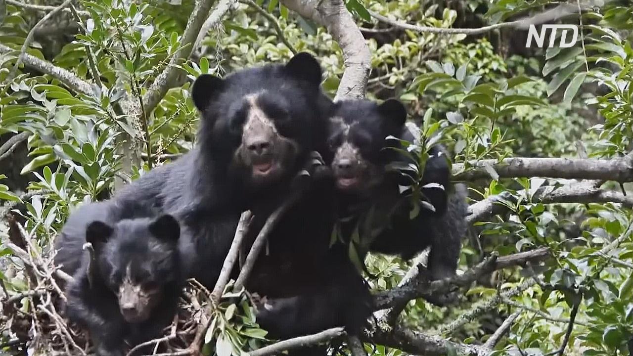 Эквадорский фермер спасает популяцию очковых медведей