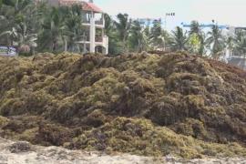 Туризму в Мексике угрожает масштабное нашествие водорослей