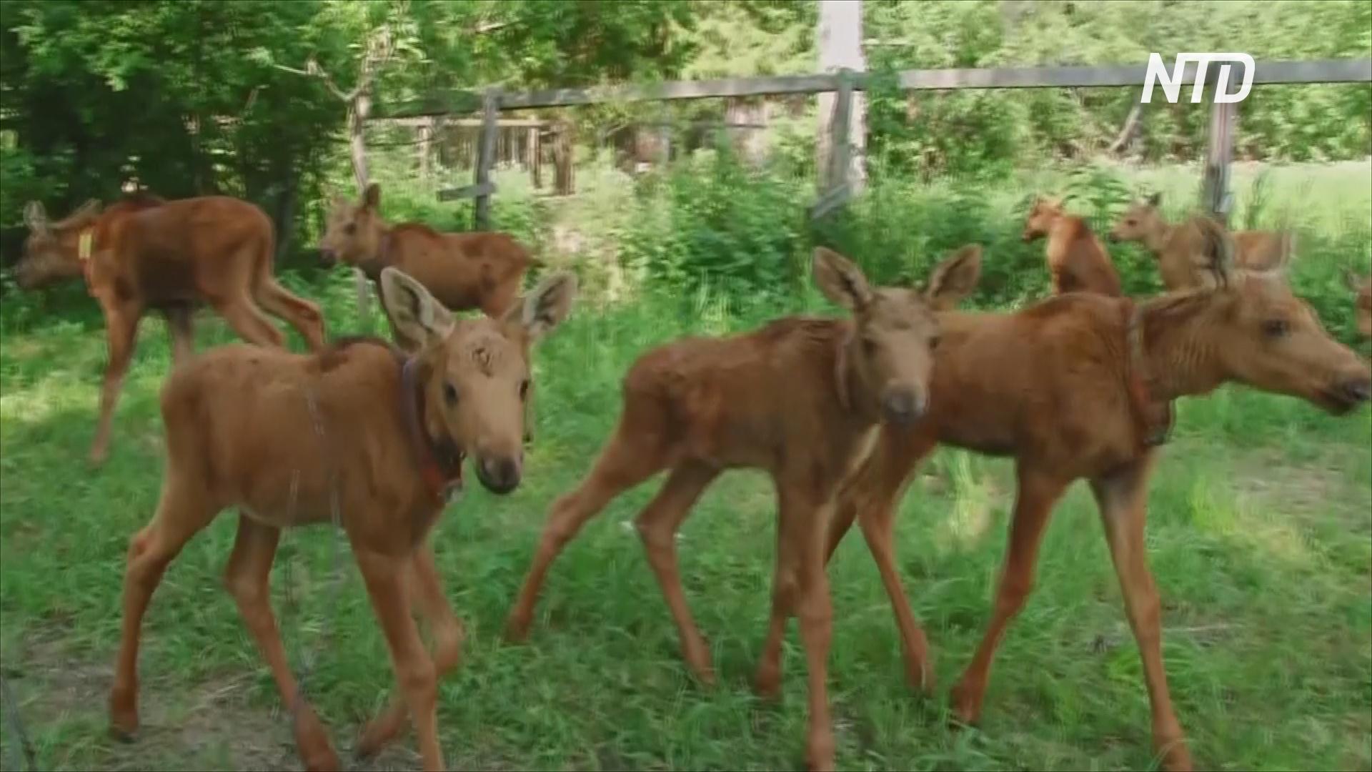 Лосиная ферма в костромской области – эхо рухнувших планов переделать природу