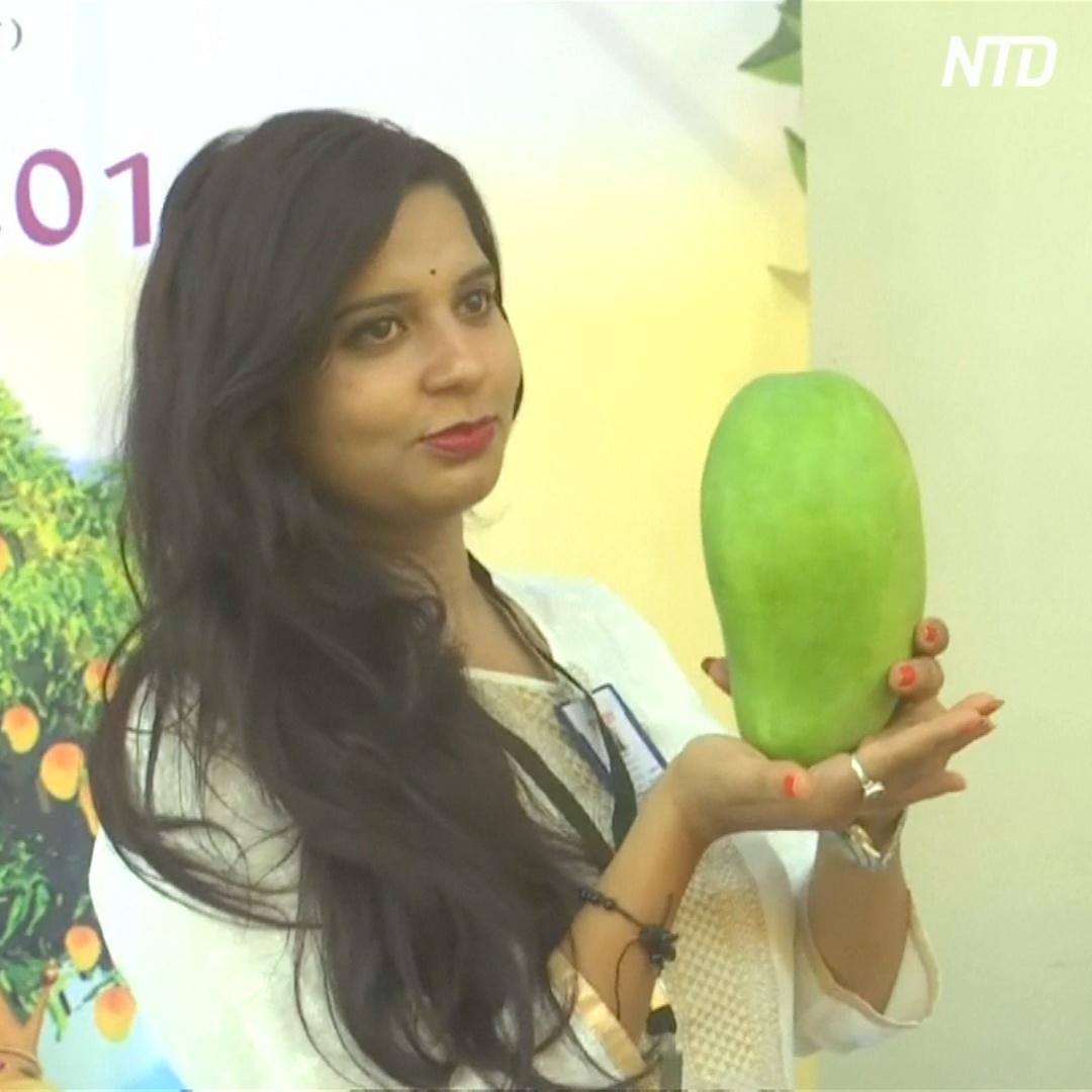 5-килограммовые манго показали на фестивале в Индии