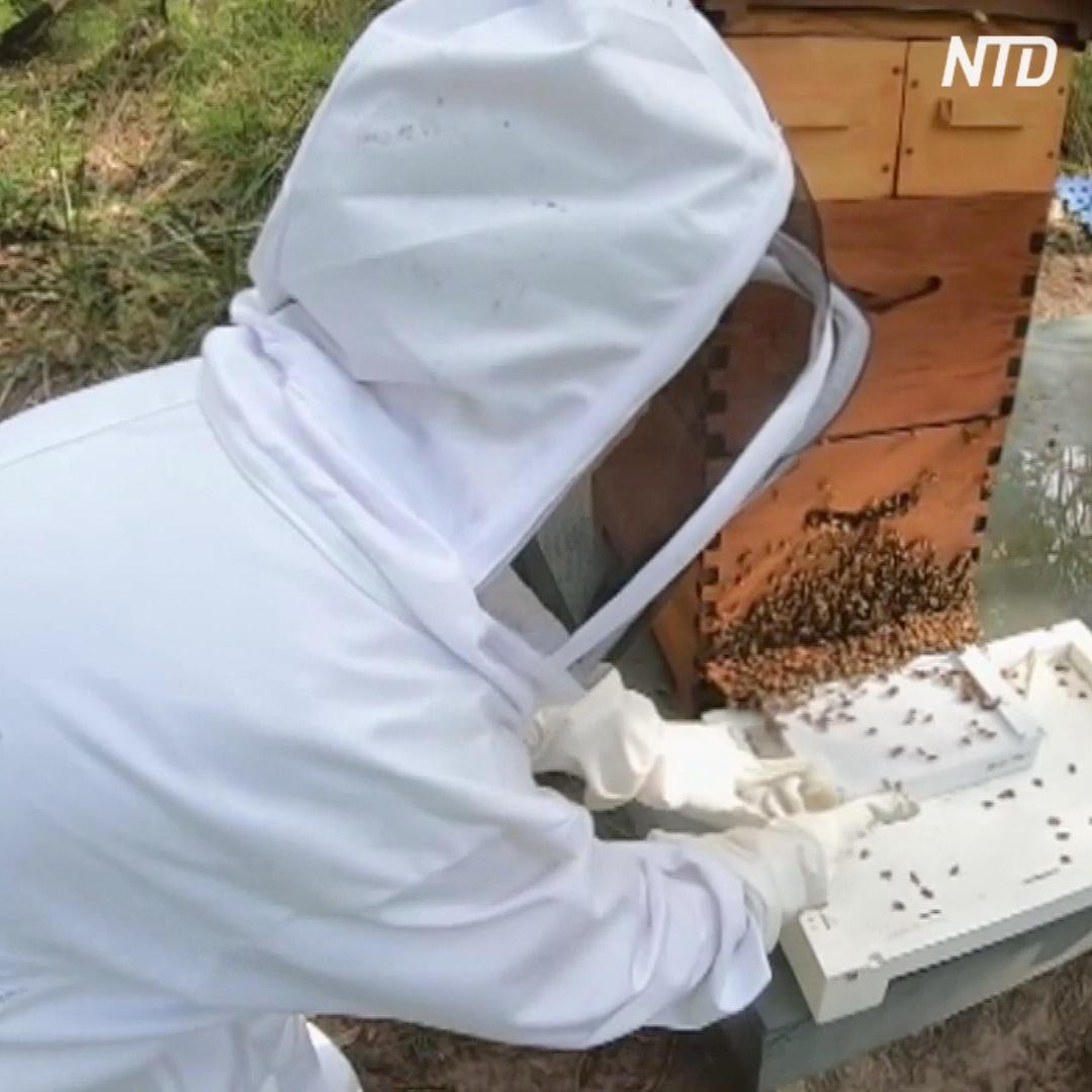 Как собрать пчелиный яд и не убить пчелу?