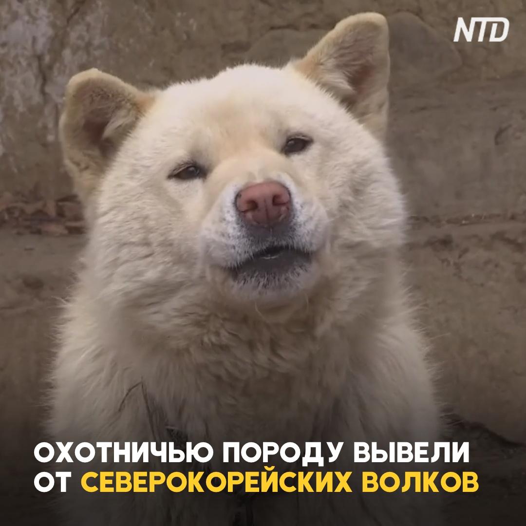 Как выглядят пхусаны – северокорейские собаки, выведенные от волков