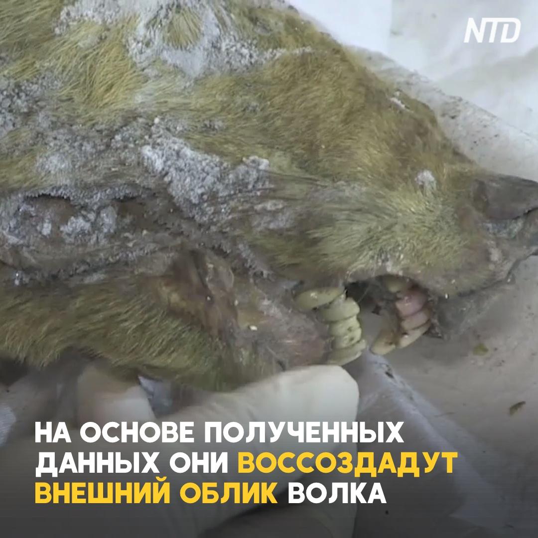В Сибири нашли голову волка, жившего 40 тыс. лет назад