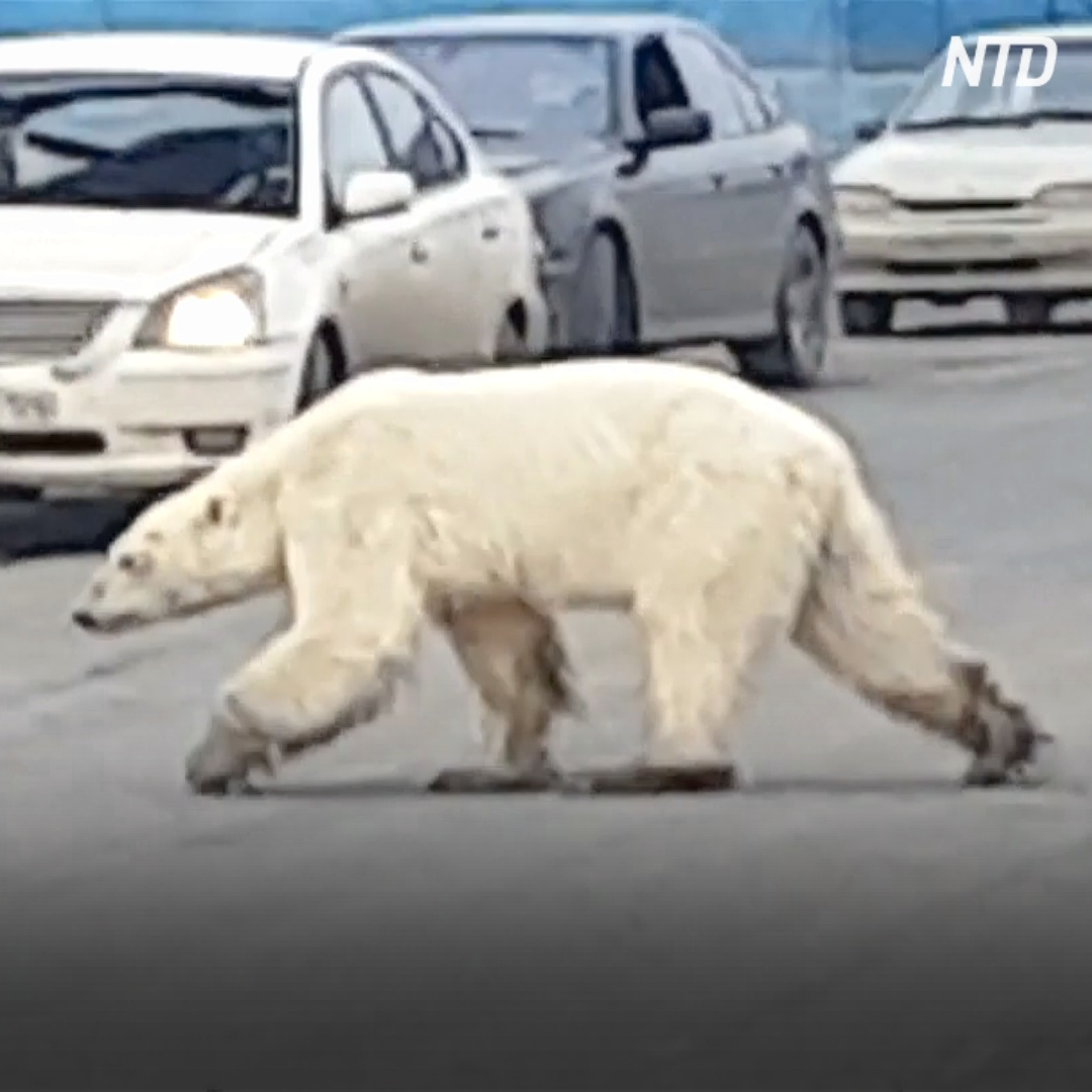 Истощённый белый медведь забрёл в Норильск