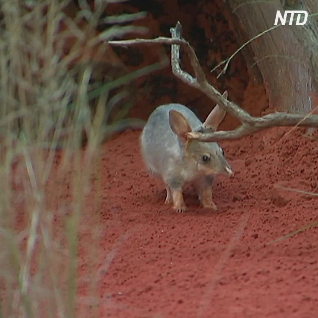 Как в Австралии спасают кроличьих бандикутов