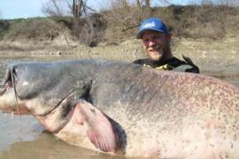 Рыбак поймал сома-гиганта размером с акулу
