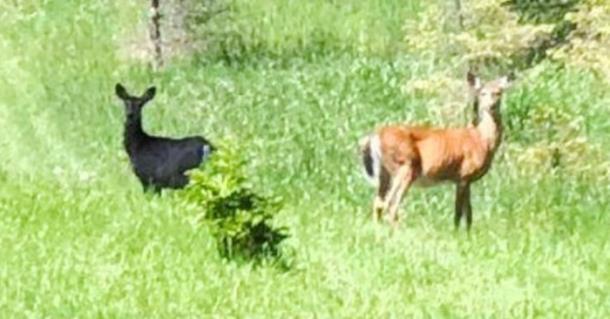 Редчайший чёрный олень попал на фото