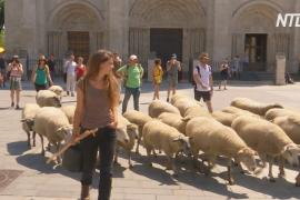 Стадо овец попасётся в городах Франции, напоминая о традициях