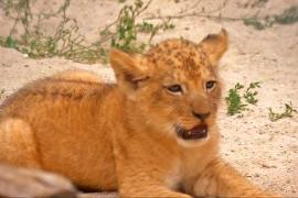 В Чехии показали львят вымершего подвида