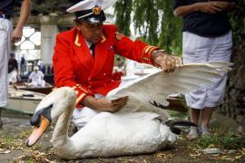Перепись королевских лебедей стартовала на Темзе