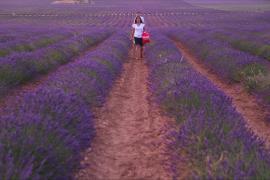 Цветущая лаванда вызывает бум туризма на фермерских полях Испании