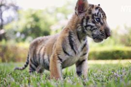 Знакомство с миром: бенгальские тигрята вышли на публику в зоопарке Гуадалупе