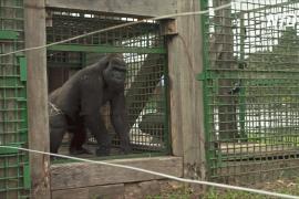 Двух горилл из французского зоопарка поселили в нацпарке Габона