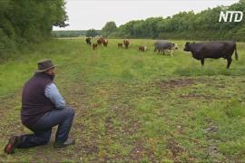 Опера для коров: как ветеринар лечит бурёнок от меланхолии