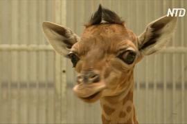 Жирафёнок редкого вида кордофан дебютирует в зоопарке Парижа