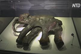 На выставке в Токио исследуют прошлое, настоящее и будущее мамонтов