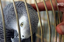 Попугаев жако в Камеруне выхаживают в реабилитационном центре