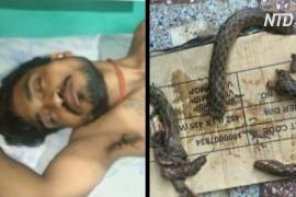 Пьяный индиец насмерть закусал ядовитую змею