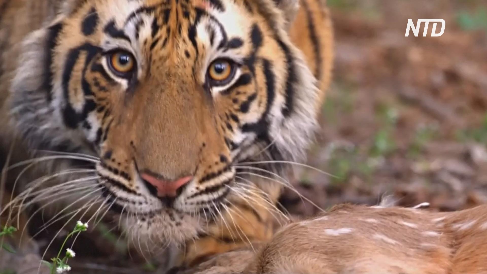 Тигров в Индии стало больше