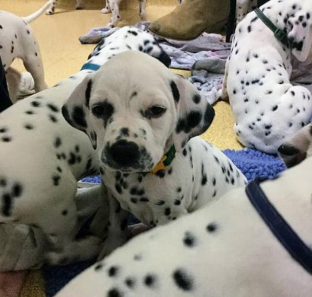 3 1 - Собака родила щенков больше, чем в «101 далматинец»