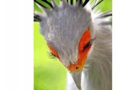 Птица-секретарь: потрясающие фото!