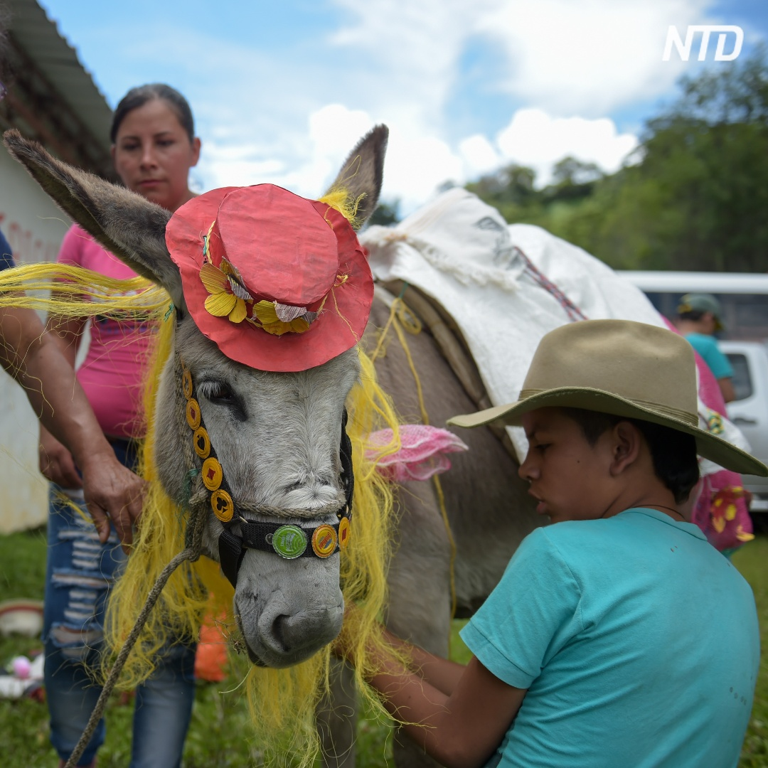 Как чествовали ослов в колумбийском городе Моникира
