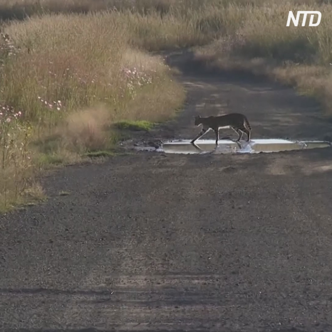 Редкие сервалы поселились в ЮАР рядом с химзаводом