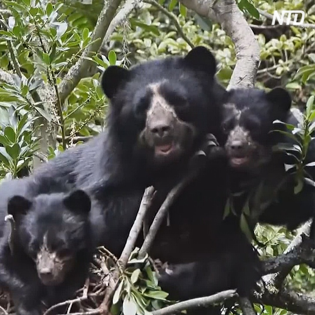 Очковых медведей в Эквадоре теперь не убивают, а спасают