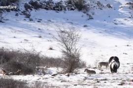 Лошадь оказалась в стае волков и удивила хищников