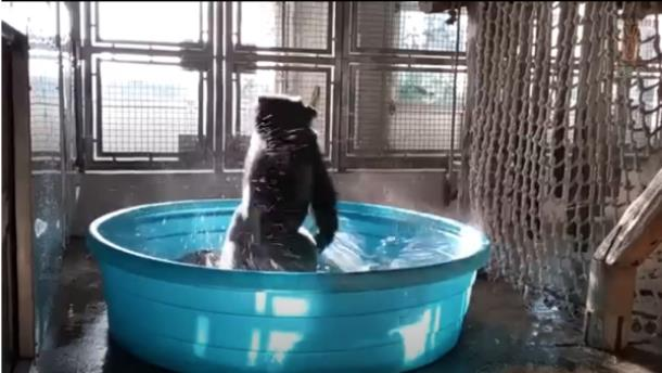 Горилла станцевала брейк в бассейне