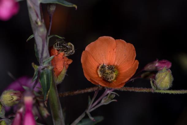 Novyj risunok 2 11 - Фотограф снял спящих в цветке пчёл: фото