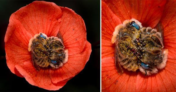 Фотограф снял спящих в цветке пчёл: фото