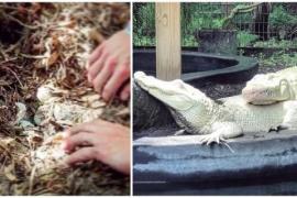 Уникальное событие: белые крокодилы ждут потомства