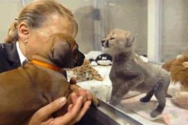 Собака и гепард – лучшие друзья!