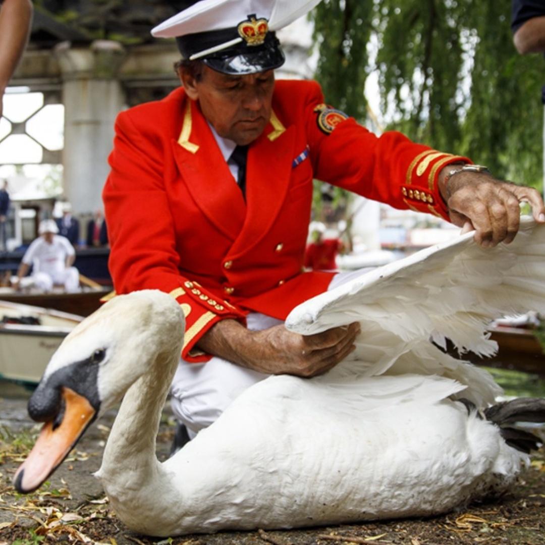 Как на Темзе считают лебедей королевы