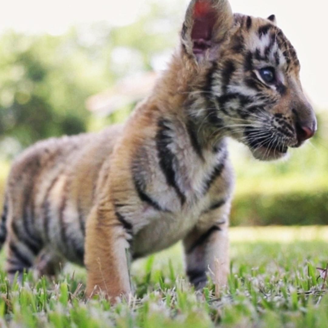 Новорождённые бенгальские тигрята знакомятся с миром