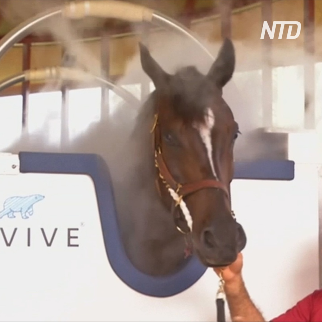 Зачем лошадям в Дубае делают криотерапию?