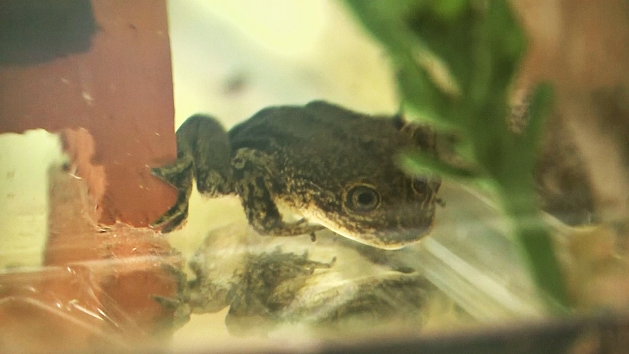 В Чили отловили 14 последних лягушек лоа, чтобы спасти вид от вымирания